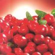 Borówka brusznica, zwana także borówką czerwoną