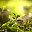 Cejloński lew – gwarancja jakości najlepszej herbaty